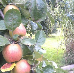 home grown apples