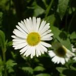 chamomile herb