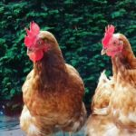 rehoming ex battery chickens
